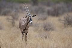 The Oryx (Kitty Kono) Tags: oryx samburu kenya kittyrileykono