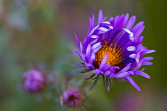 Aster (mclcbooks) Tags: flower flowers floral macro closeup aster asters denverbotanicgardens colorado zerenestacker focusstacking fall autumn