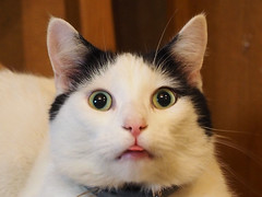 Zrzeszenie Sowian (arjuna_zbycho) Tags: sowianie rodzimowierstwosowiaskie sowiaskatosamo slavs slawen slovan  przybywka zrzeszeniesowian wiesl kir kater hauskatze cat animal cute animals pets gato kitten feline kitty kittens pet tier haustier katzen gattini gatto chat cats