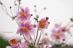 Anmones du Japon (Une femme ...) Tags: anemone japon japanese rose pink pastel bokeh flower