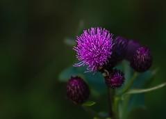 Gilla lila (nillamaria) Tags: gillalila thistle tistlar tistel purple fs160925 lila fotosondag