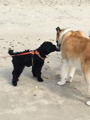 Howdy (crisp4dogs) Tags: gabby pwd portuguesewaterdog crisp4dogs puppy beach
