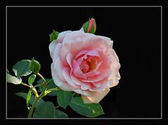 eine Rose zum Sonntag !!! (karin_b1966) Tags: blume flower blte blossom pflanze plant garten garden natur nature 2016 rose yourbestoftoday