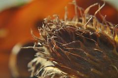 Herbst - autumn (nirak68) Tags: lbeck schleswigholsteinkreisfreiehansestadtlbeck deutschland ger 268366 rotbuche fagussylvatica frucht bucheckern laubbaum beech blatt herbst 2016ckarinslinsede telekonverter 50mm fall autumn