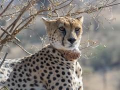 Nabiki IV (Makgobokgobo) Tags: cheetah predator mammal naiboshoconservancy naibosho mara kenya africa acinonyxjubatus acinonyx