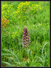 Syrian Acanthus (Dora-A) Tags: trees light flower color green nature beautiful landscape photography israel daylight spring colorful mediterranean day view bright bears country north picture middleeast galilee scene panasonic foliage naturereserve acanthus wildflower holyland hdr mideast syrian blooming nahal flourishing ayun גליל breech חרמון charul doraa קוציץ סורי קוציץסורי dmcfz150 northernkingdomofisrael nahalayun