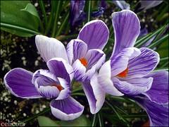 Flor crocu (celicom) Tags: naturaleza flor malva
