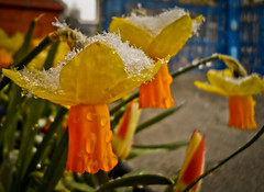 Snow Capped Flower (Safarii) Tags: life park snowflake flowers winter orange snow cold flower colour green ice water grass weather yellow walking droplets spring shropshire path shrewsbury wierd daffodil quarry vigilantphotographersunite vpu2 vpu3 vpu4 vpu5 vpu6 vpu7 vpu8