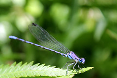 Argia extranea (Greitas) Tags: ruta dragonfly bicho liblula argia caballitodeldiablo extranea bichologo argiaextranea larutadelbichologo