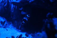 IMGP3188.jpg (MEATY IDEAS) Tags: fish night vancouver aquarium december pentax around vancouveraquarium k7 2011 pentaxk7