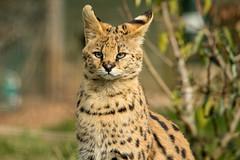Big Cats-481 (Andy the Photographer) Tags: wildlife tigers lions bigcats wildlifeheritagefoundation whf