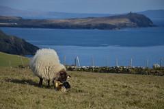 Newborn Lamb (Olly Griffin) Tags: ireland sheep cork lamb atlanticocean