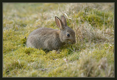 Cute Baby Bunnies (Full Moon Images) Tags: baby rabbit bunny nature animal mammal wildlife sandy bedfordshire reserve thelodge rspb