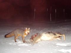 Does eating venison make me look fat? (Dr. Farnsworth) Tags: snow field night mi dead spring eating orchard deer venison fox fernridge april2013