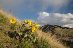 Balsamroot in Missoula (LabradorEars) Tags: yellow montana missoula wildflower balsamroot balsamorhiza balsamorhizasagittata arrowleafbalsamroot