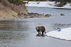 Snake River Grizzly (Daryl L. Hunter - The Hole Picture) Tags: usa landscape unitedstates snakeriver wyoming jacksonhole grandtetonnationalpark ruleofthirds bearcountry grizzlybearhabitat boargrizzlybear