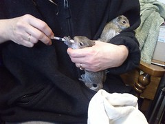 Feeding Squirrel 170413 (SK17i) (14) (Callum.H) Tags: rescue animals squirrel wildlife babysquirrel lindasquires