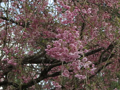 Spring has sprung 2013 (zargoman) Tags: flower tree bird outdoors spring wildlife portorchard kitsapcounty
