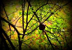 Pomegranate (MahanMD) Tags: life tree green nature colorful iran pomegranate shiraz درخت سبز گیاه رنگ فارس fars انار نورآباد شیراز canon400d nourabad