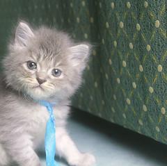 kettin (Ali Omran) Tags: cat kitten forsale sale buy 4sale للبيع قطط قط بيع البيع