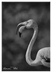 The call (Manan103) Tags: monochrome birds call photographer wildlife wilderness birdsanctuary indianwildlife beautifulphoto artisticview thollake flickrawardgallery mananpatel longbirds