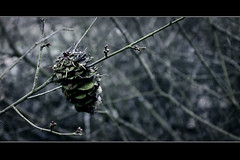 Cone (naturfnger) Tags: autumn winter plant cold grey bush cone herbst grau pale kalt strauch busch zapfen blass murkey gebsch trb