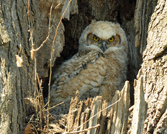 Great Horned Owlet (Explored!) (Windows to Nature) Tags: