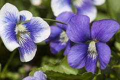 violets of 2013 (jlodder) Tags: violets