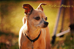 (Krista Cordova Photography) Tags: chihuahua rose grey gray collar greengrass greydog graydog fullbred graychihuahua greychihuahua