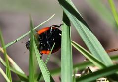 acrobatic ladybug (Ingrid Friis Photo) Tags: nature skne action documentary ladybug mygarden springtime acrobatic naturen