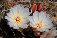 Bitteroot flowers (Lewisia rediviva), Tehachapi Mountains, PCT, California (Damon Tighe) Tags: california ca white mountains flower america pacific north crest trail backpacking pct wildflowers wildflower tehachapi lewisia bitteroot rediviva