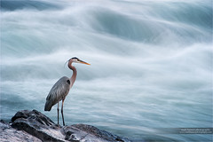 Whitewater Watchman (www.matthansenphotography.com) Tags: bird heron nature water animal river waterfall rocks wildlife rapids breeding perch greatblueheron wadingbird matthansenphotography