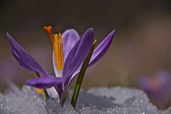 """primavera ("""" paolo ammannati """") Tags: snow macro primavera ice me spring raw photographer mask natura io neve fiori 1001nights terra colori viaggi montagna bosco casentino ghiaccio fioritura paoloammannati complimenti effettinaturali mygearandme fotoconneve rememberthatmomentlevel1"""