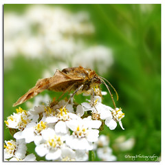 brown moth (Wilma van Oorschot) Tags: brown macro moth 1001nights flowerswithinsects 1001nightsmagiccity leicadlux5