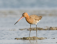 Godwit in plumage (Aravind Venkatraman) Tags: morning india black bird birds nikon indian birding 300mm national dslr aravind chennai birdwatching f4 birder tailed nationalgeographic godwit limosa blacktailedgodwit limosalimosa birdphotography 14tc nikondslr birdsindia indiabirds incredibleindia indianbirds birdphotographer dslrnikon nikon300mmf4 avphotography nikon14tc d7000 annamalaicheri nikond7000 chennaibirding d7000nikon aravindvenkatraman