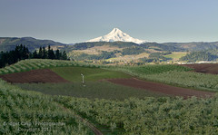 Mt. Hood From Fruit Orchards in Hood River Oregon (Bridget Calip - Alluring Images) Tags: snow oregon rural america botanical spring blossoms vineyards mthood pacificnorthwest fields northamerica farms blueskies organic agriculture fruitloop blooming appletrees fruittrees peartrees hoodrivervalley 2013 fruitorchards bridgetcalip