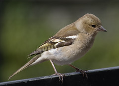 Female Chaffinch (barnesontour) Tags: bird spring chaffinch fringilla coelebs