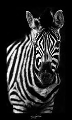 zebre zebra black and white noir et blanc ('^_^ Damail Nobre ^_^') Tags: park blackandwhite favorite france nature animal animals darkroom photoshop canon pose french photography zoo claire nice flickr raw gallery  niceshot photographie affection photos outdoor robe mark explorer creative picture award best yeux fave explore jungle monde animaux iledefrance franais francais adoration africain afrique 70200mm photographe raye favoris quid dfn damail hdraward photophotographe damailsl wwwdamailfr