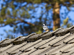 Sittng in the sun/Explore (Vidar Ringstad,Skedsmo) Tags: blue roof white black cold tree bird norway canon eos grey norge moss spring google europa europe flickr sitting photographer bokeh small natur norwegen himmel bluesky images explore nails 7d scandinavia fugl tre sort tak sitter vr wagtail spiker bl trr mose svart gr narure linerle liten skandinavia kaldt hvit explored naturepic naturbilde aurskog lierfoss naturesharmony mygearandme vidarringstad