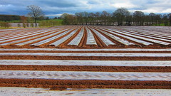 Drastic Plastic (ambo333) Tags: uk england plants field farm farming crop cumbria fields crops growing grains maize brampton hayton plasticsheet propagation samco samcosystem samcoplastic