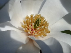 Magnolia (RonG58) Tags: pictures new trip travel flowers trees light usa flower color tree film nature geotagged arbol photography us photo spring raw day image photos live wayne maine picture images photograph hana magnolia digitalcamera exploration albero arbre photooftheday picoftheday waynemaine disambiguation fugifilm magnolioideae mimamorflowers finepixhs20exr rong58