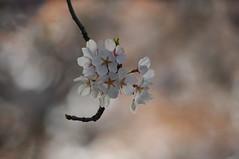 Cherry Blossoms - High Park, Toronto (jmaxtours) Tags: toronto sunrise dawn spring highpark blossoms cherryblossoms springtime torontoontario highparkcherryblossoms