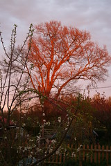 Red tree and blossom (ART NAHPRO) Tags: life light england sun set rural sussex evening dusk country rustic charm