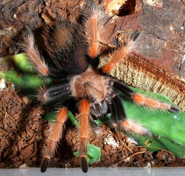 Tarantula: Mexican Fireleg - Brachypelma boehmei