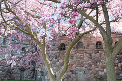 St. Thomas the Apostle Church, Springtime, 2013. (marylea) Tags: pink flowers beauty spring catholic michigan blossoms annarbor magnolia catholicchurch blooms magnolias may3 2013 stthomasaa stthomastheapostlecatholicchurch