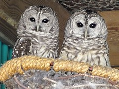 Barred Owls (RonG58) Tags: pictures new trip travel light usa color bird film nature birds fauna geotagged photography us photo spring flora raw day image photos live wildlife birding gray maine picture images photograph raptor owl digitalcamera migration tori exploration habitat barredowl photooftheday picoftheday strixvaria birdwalk greatphotographers hootowl stripedowl loiseau fugifilm mainewildlifepark woodowl natureexploration elpájaro eighthooter rainowl thewonderfulworldofbirds dervogel vividstriking mygearandme finepixhs20exr rememberthatmomentlevel1 rememberthatmomentlevel2 rong58