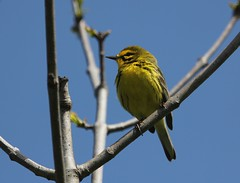 Prairie Warbler (Howard21042) Tags: prairiewarbler