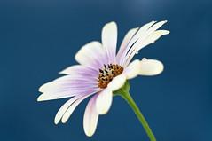 Margerita (mmoborg) Tags: flowers sweden sverige blommor mmoborg mariamoborg