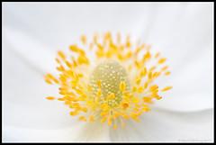 Yellow on white (mmoborg) Tags: flowers sweden sverige blommor mmoborg mariamoborg