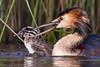 Great Crested Grebe (Podiceps cristatus) (Jeluba) Tags: bird nature horizontal closeup canon wildlife aves ornithology birdwatching oiseau greatcrestedgrebe podicepscristatus haubentaucher grèbehuppé